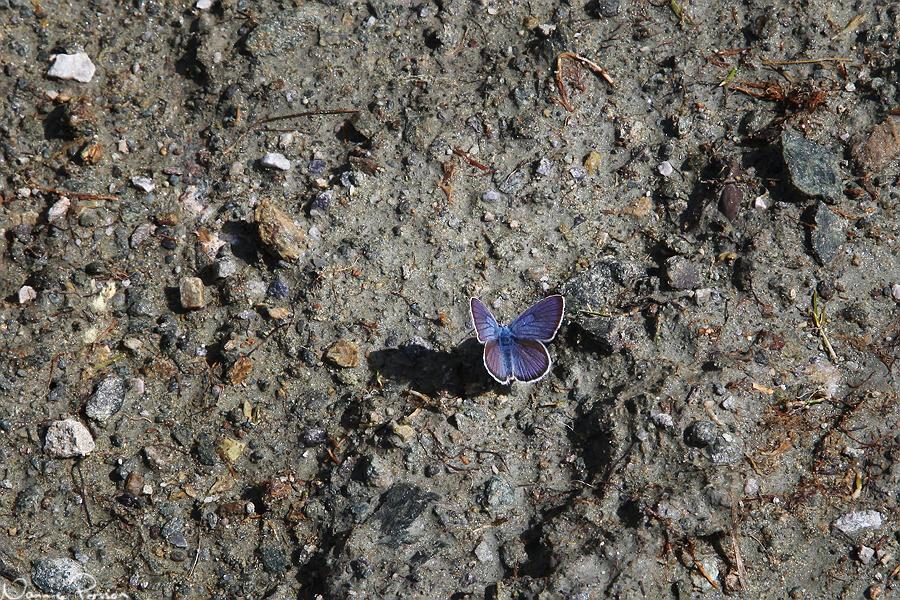 En liten blåvinge (Lycaenidae).
