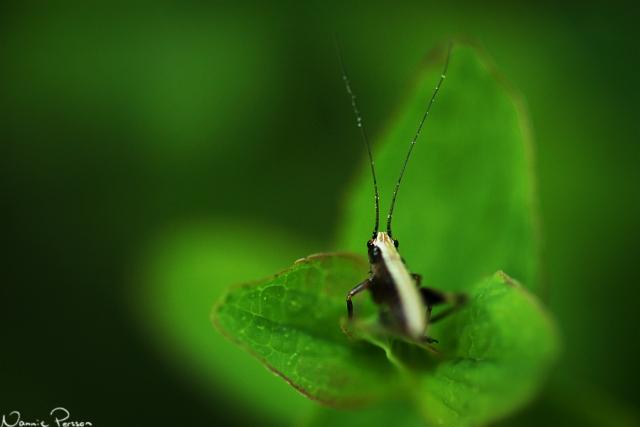 Nymf av en buskvårtbitare, Pholidoptera griseoaptera