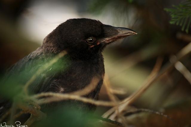 Svartkråka, Corvus corone