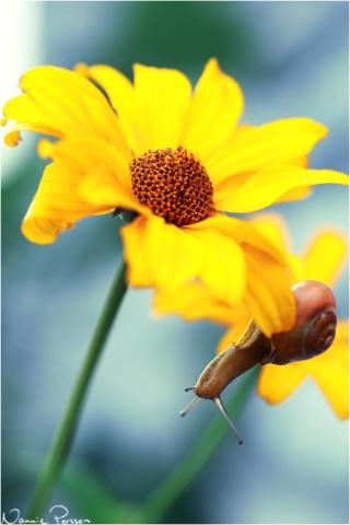 Snäcka, Cepaea sp.