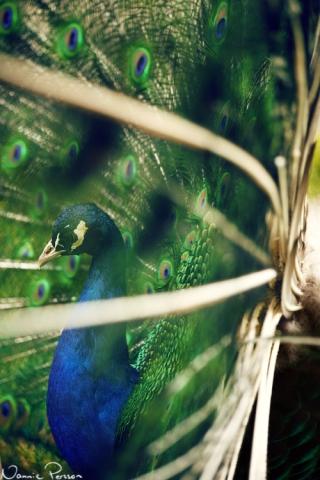 Påfågel på Skansen