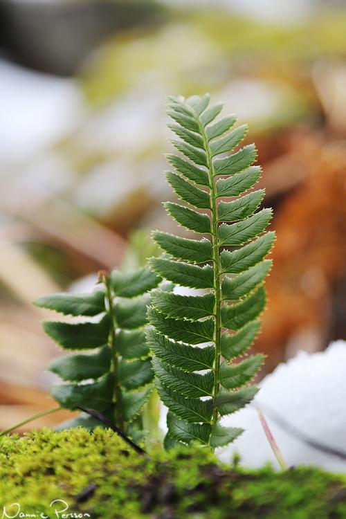 Taggbräken (Polystichum longchitis), en av mina absoluta favoritväxter.