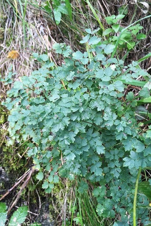 Kustruta (Thalictrum minus), en i Sverige väldigt ovanlig växt.
