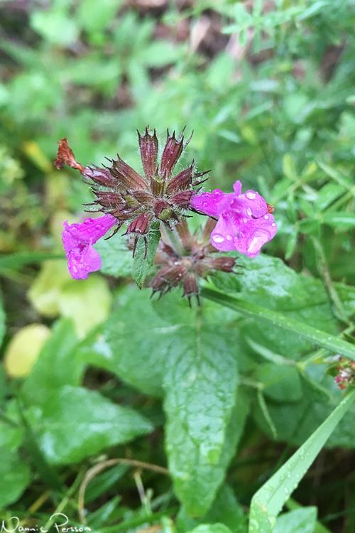 Bergmynta (Clinopodium vulgare) med sin starka färg.