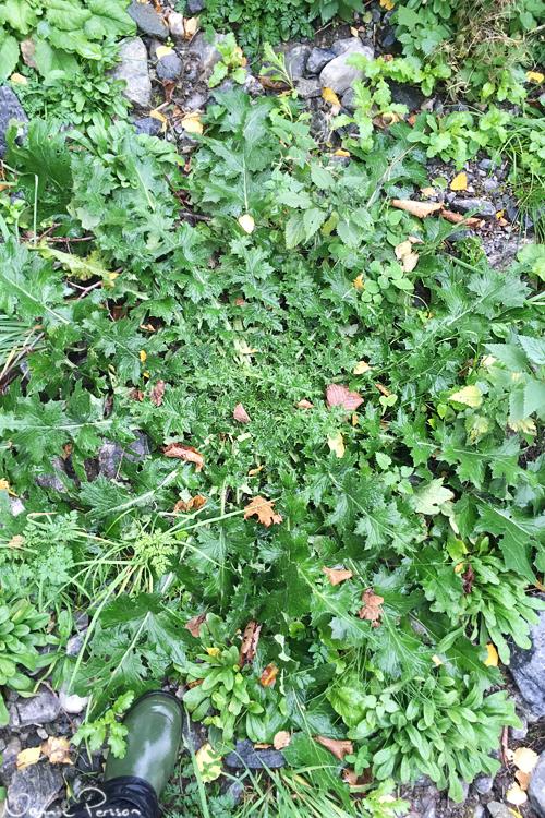 En jättebladrosett av krustistel (Carduus crispus).